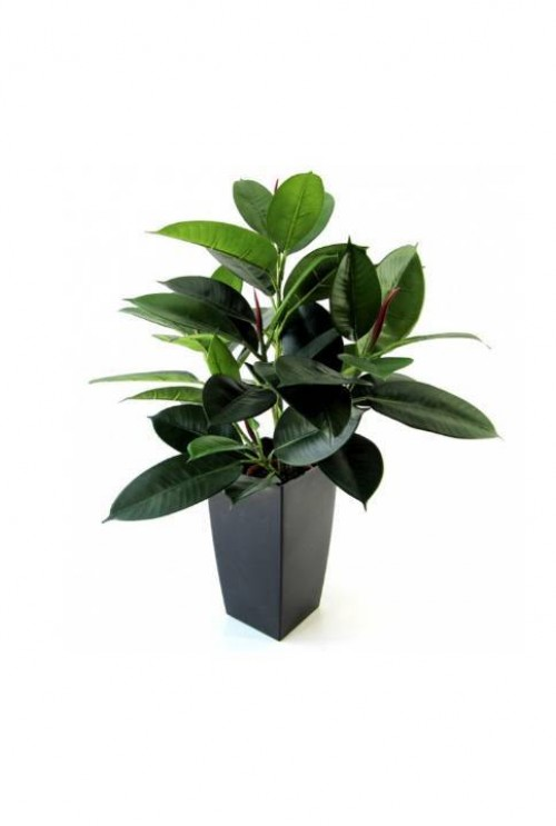 Philodendron Windowplant 50cm